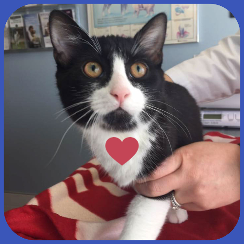 Black-and-white-cat-with-heart-stringtown-animal-hospital