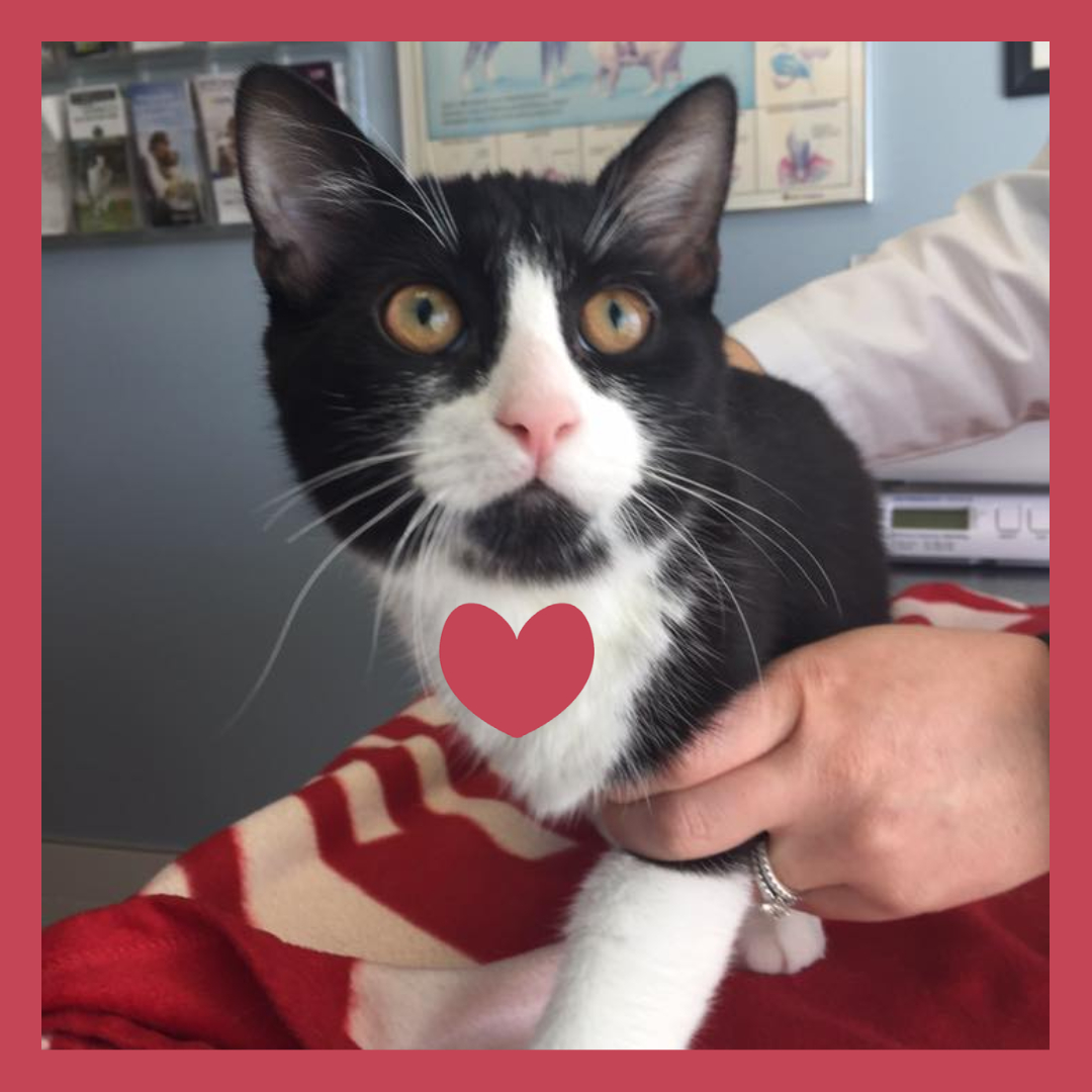 Black and white cat with red heart